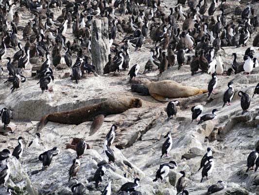 Argentinien - Kormorane im Beagle Kanal
