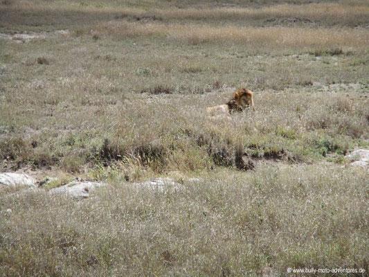 Tansania - Safari-Tour - Löwe (Serengeti)