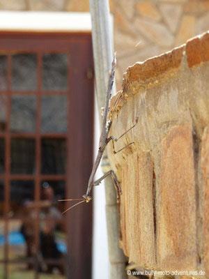 Namibia - Windhoek Mountain Lodge - Gottesanbeterin