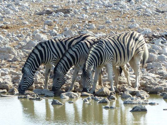 Namibia - Etosha Nationalpark - Zebras