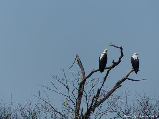 Botswana - Okavango Delta - Adler