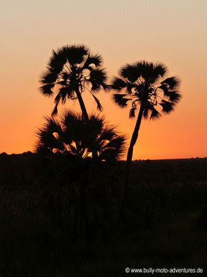 Namibia - Palmwag Lodge - Makalani Palme