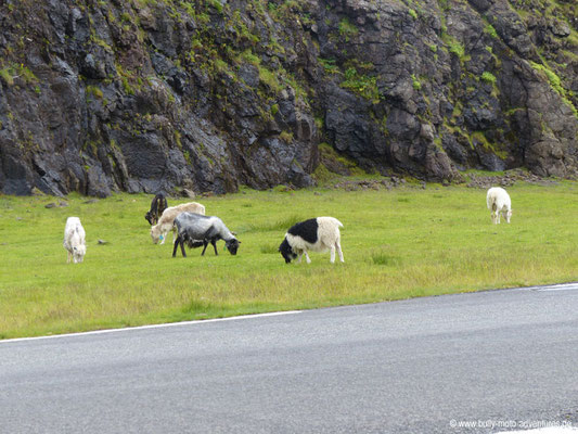 Färöer Inseln - Eysturoy - Schafe entlang des Weges nach Elduvík
