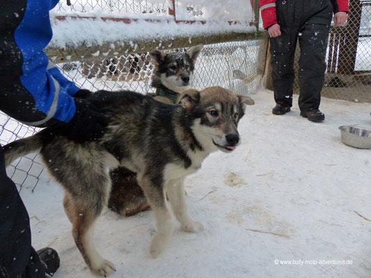 Finnland - Husky-Welpen