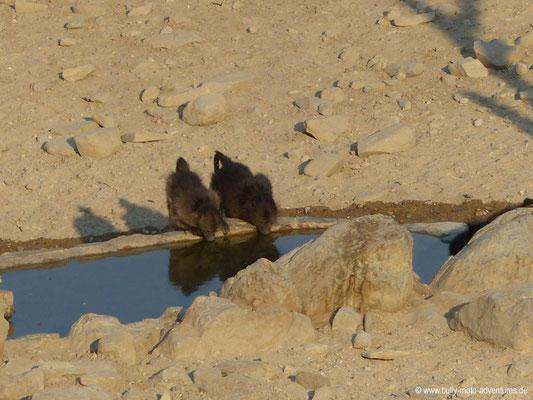 Namibia - Kobo Kobo Hills - Paviane