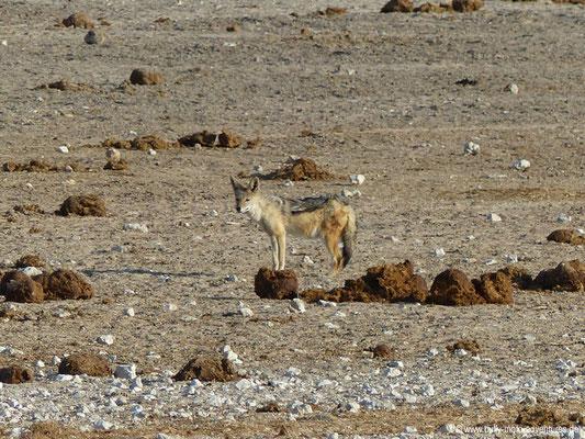 Namibia - Etosha Nationalpark - Schakal