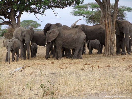Tansania - Safari-Tour - Elefantenherde (Tarangire Nationalpark)
