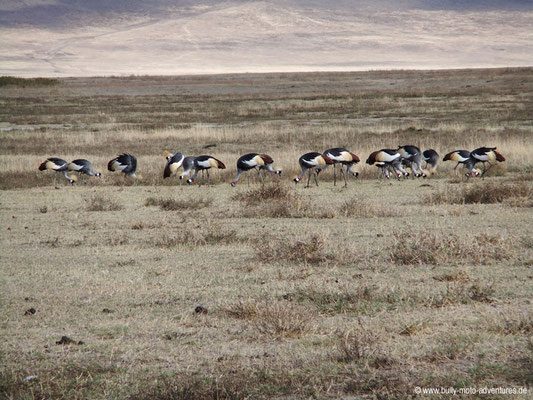 Tansania - Safari-Tour - Kronenkraniche (Ngorongoro Krater)