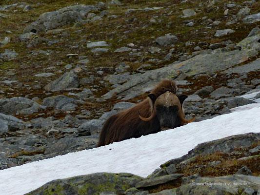 Norwegen - Auf Moschusochsen-Safari im Dovrefjell-Sunndalsfjella Nationalpark