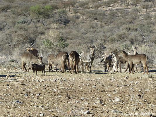 Namibia - Mt. Etjo Wildreservat - Wasserböcke und Zebras