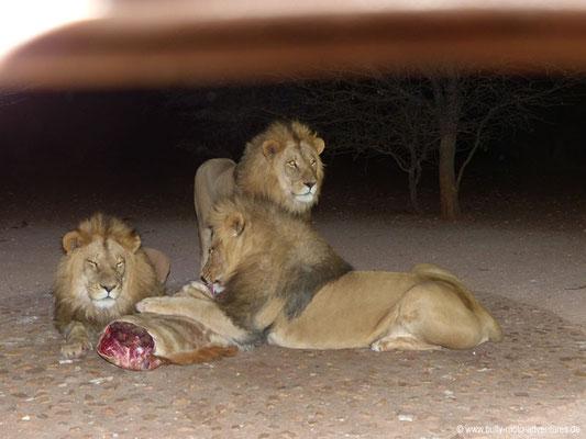 Namibia - Mt. Etjo Safari Lodge - Löwenfütterung