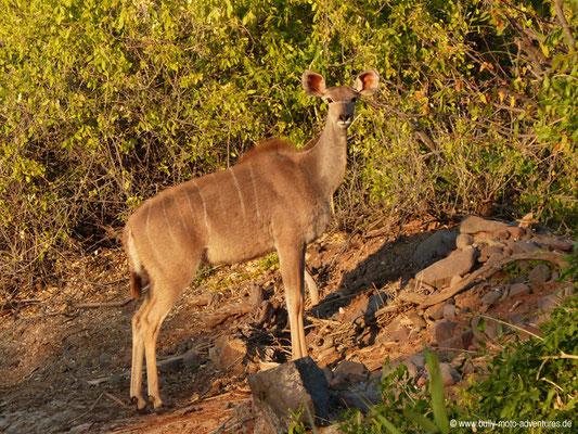 Namibia - Palmwag Lodge - Kudu