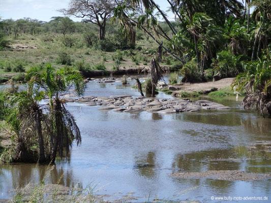 Tansania - Serengeti - Flusspferde