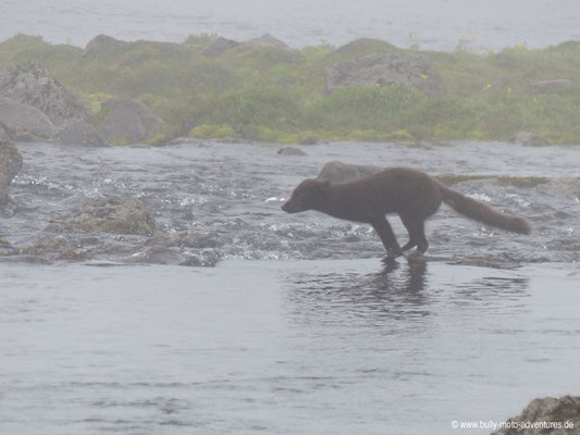 Island - Hornstrandir - Polarfuchs