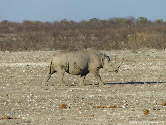 Namibia - Etosha Nationalpark - Nashorn