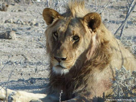 Namibia - Etosha Nationalpark - Löwe