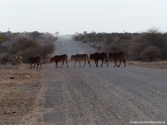 Namibia - Rinderherde kreuzt die Fahrbahn