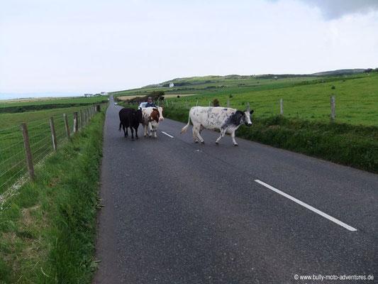 Irland - Rinder auf der Fahrbahn - Co. Antrim