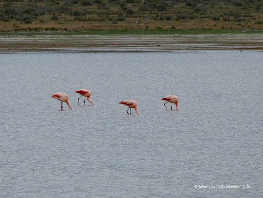Chile - Straße 9 zwischen Punta Arenas und Puerto Natales - Flamingos