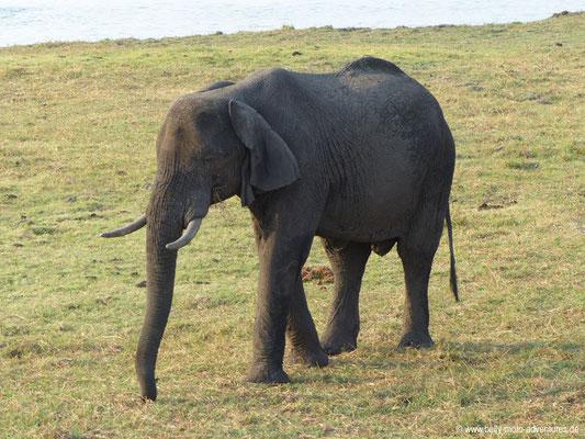 Botswana - Chobe Nationalpark - Elefant