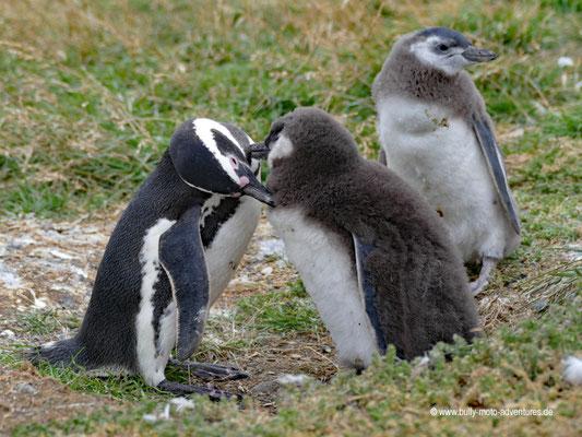 Chile - Monumento Nacional Los Pingüinos- Isla Magdalena - Pinguin-Kolonie