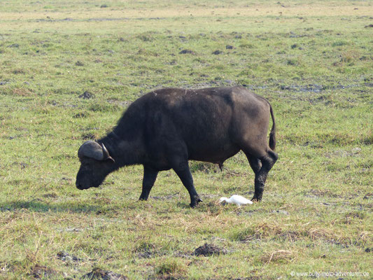 Botswana - Chobe Nationalpark - Büffel