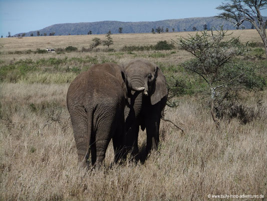 Tansania - Safari-Tour - Elefanten (Serengeti)