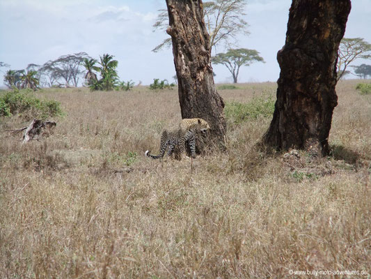Tansania - Safari-Tour - Leopard (Serengeti)