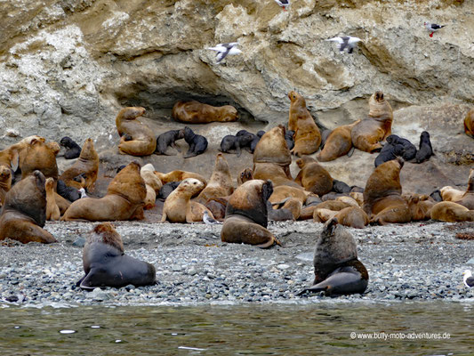 Chile - Monumento Nacional Los Pingüinos -Isla Marta - Seelöwen-Kolonie