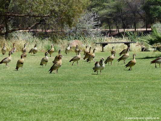 Namibia - Mt. Etjo Safari Lodge - Synchronausrichtung der Enten