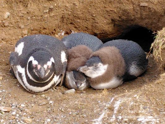 Chile - Magellan-Pinguine auf der Isla Magdalena