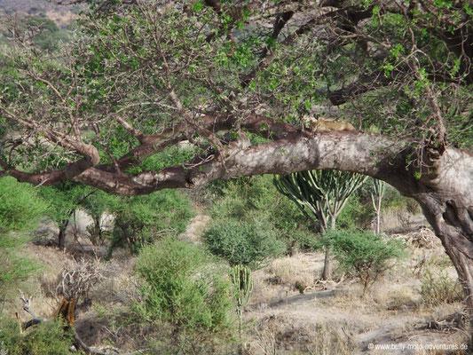 Tansania - Tarangire Nationalpark - Leopard im Baum