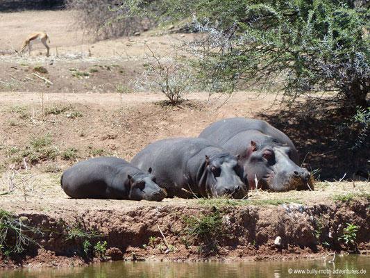 Namibia - Mt. Etjo Safari Lodge - Nilpferde