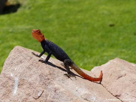 Namibia - Twyfelfontein - Eidechse