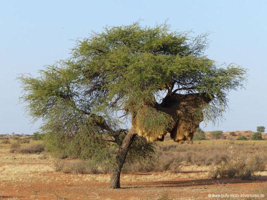 Namibia - Wildreservat der Auob Lodge - Gemeinschaftsnest der Webervögel