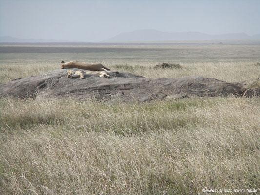 Tansania - Safari-Tour - Löwen (Serengeti)