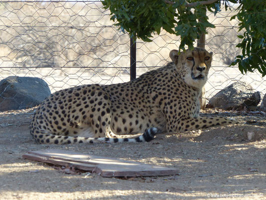 Namibia - Quivertree Forest Rest Camp - Gepard