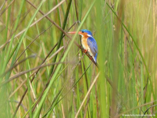 Botswana - Okavango Delta - King Fisher