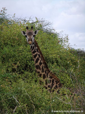 Tansania - Safari-Tour - Giraffe (Lake Manyara Nationalpark)