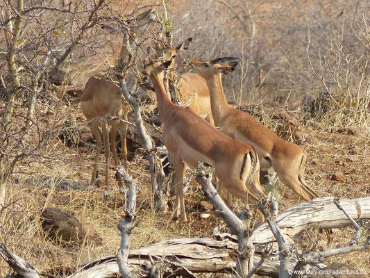 Botswana - Chobe Nationalpark - Impalas
