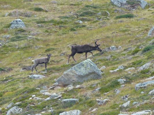 Grönland - Karibus (nordamerikanischer Vertreter des Rentiers)