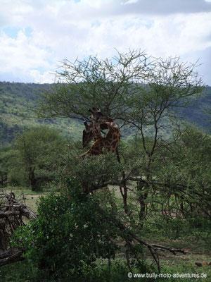 Tansania - Safari-Tour - Giraffen (Serengeti)