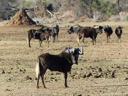 Namibia - Mt. Etjo Wildreservat - Gnus