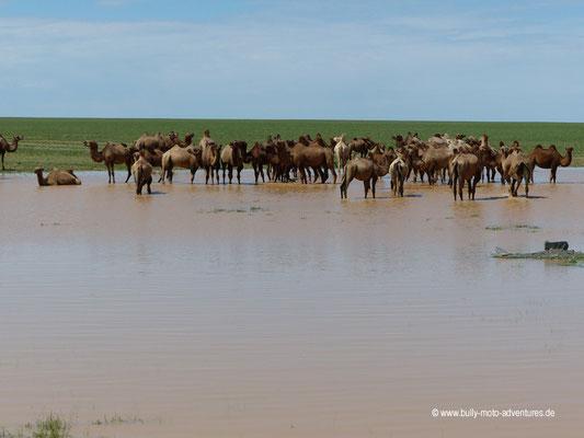Mongolei - Kamelherde am Straßenrand