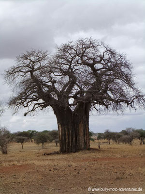 Tansania - Safari-Tour - Baobab (Tarangire Nationalpark)