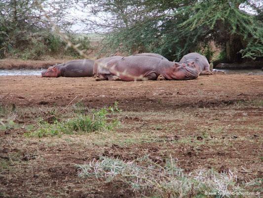 Tansania - Safari-Tour - Flusspferde (Lake Manyara Nationalpark)