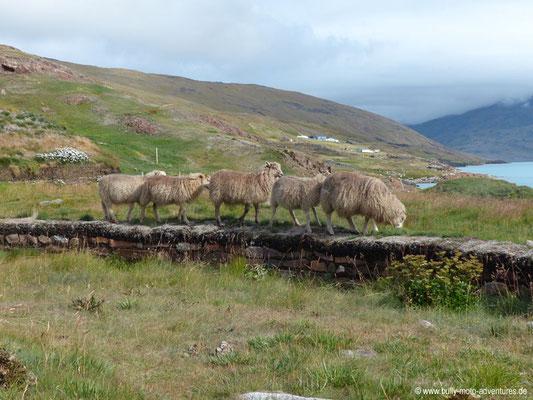 Grönland - Brattahlíð - Nachbau von Tjodhilds Kirche - Schafe auf der Steinmauer