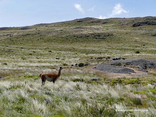 Chile - Parque Nacional Torres del Paine - Sendero Aónikenk - Guanako