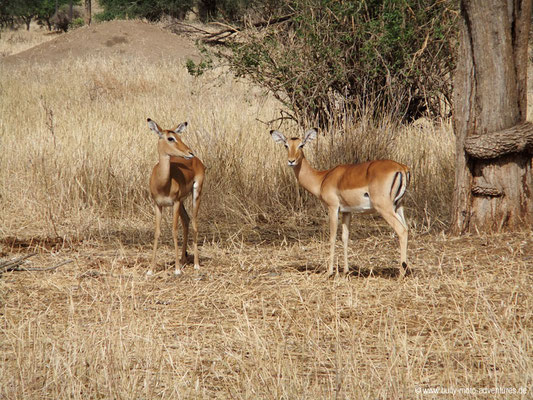 Tansania - Safari-Tour - Impalas (Tarangire Nationalpark)