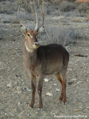 Namibia - Mt. Etjo Wildreservat - Wasserbock
